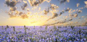 Texas-blue-bonnets-at-sunrise
