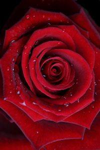 rose_red_200wjpg